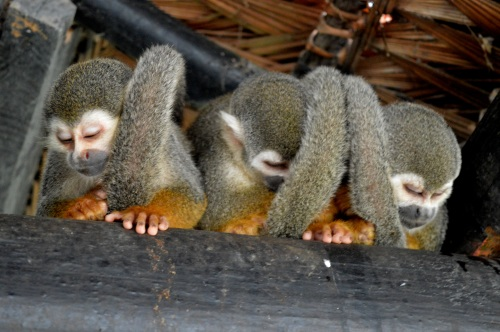 BEDTIME: Three sleepy monkeys huddle for warmth in the rafters of a restaurant in Amazonas, Colombia.